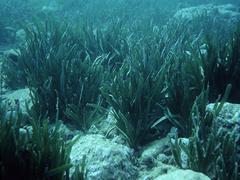 Arrecife barrera posidonia