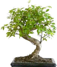 anglesd-bonsai