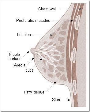 Illu_breast_anatomy